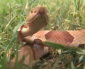 Increase in Reports of Large Groups of Copperhead Snakes Linked to Cicadas [VIDEO]